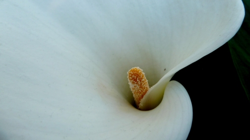 arum lily close-up