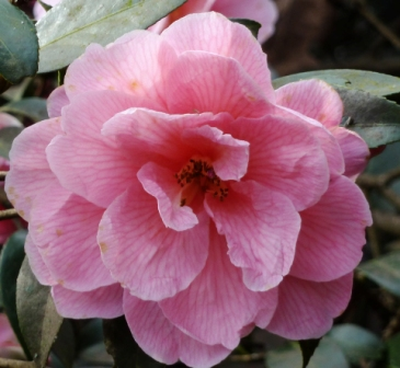 camellia williamsii Donation
