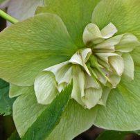 Helleborus Ruffles Green