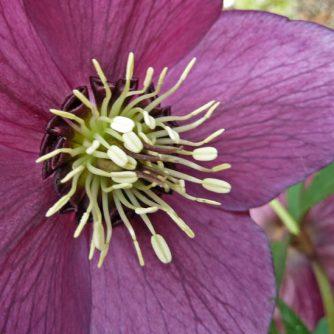 Helleborus Ashwood Gardens Hybrid