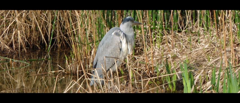 Heron at Wisley