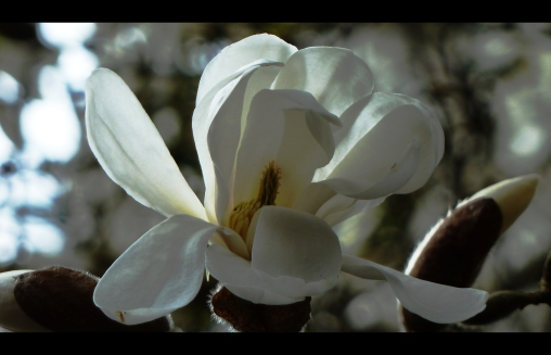 magnolia korbus Wisley Star