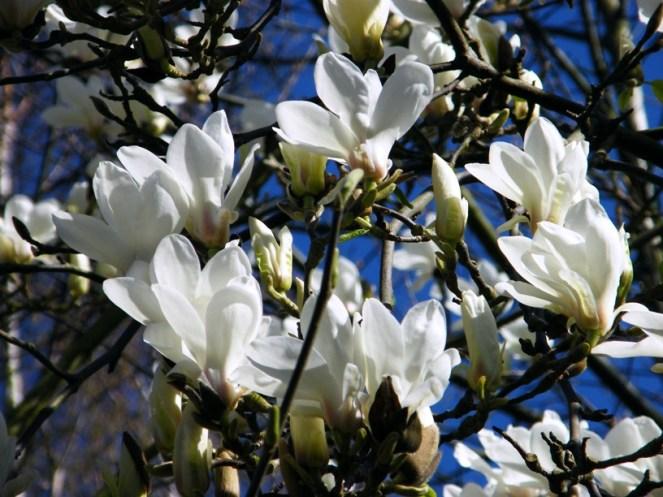 "Magnolia ""sayonora"""