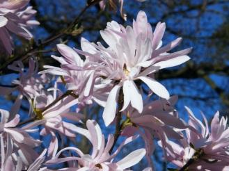 "Magnolia stellata ""Jane Platt"""