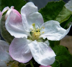 Blossom apple 'Lord Lambourne'