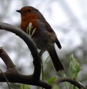 Robin in the Biome