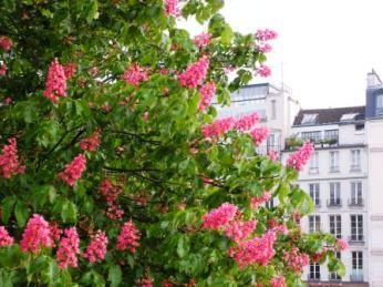 horse chestnut flowers (2)