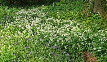 Ransoms (wild garlic)