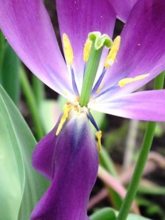 tulips (10)