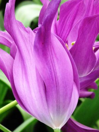 tulips (12)