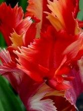 tulips (8)