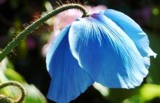 B = Blue poppy 3