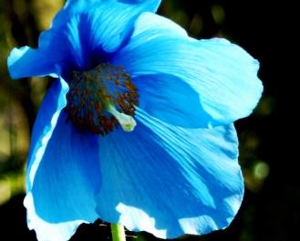B = Blue poppy 4