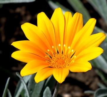 Gazania 'Bicton Orange'