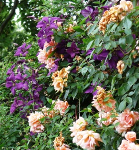 apricot roses (2)