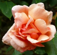 apricot roses (3)