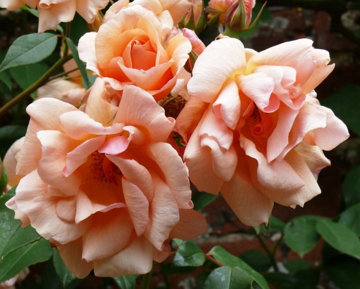 apricot roses (5)