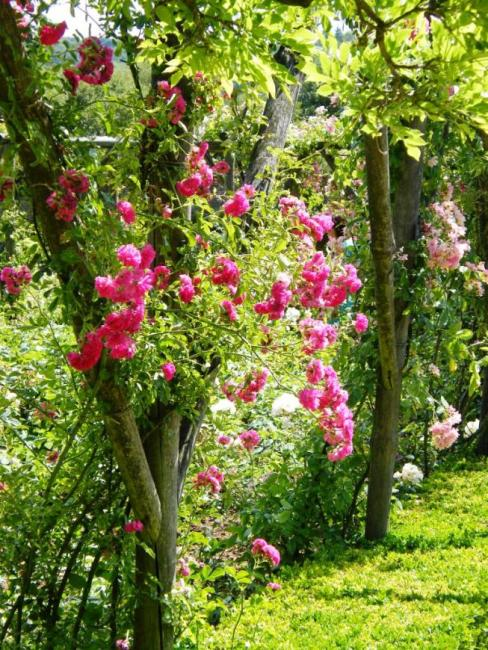 climbing roses at Polesdon Lacy