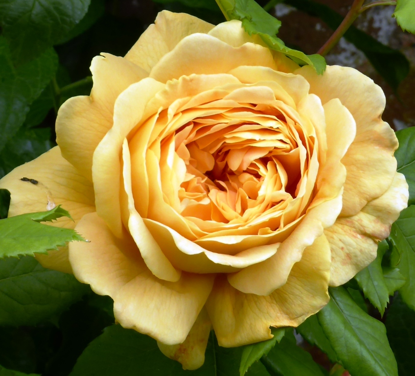 old gold rose