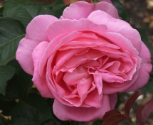 Pink double-flower