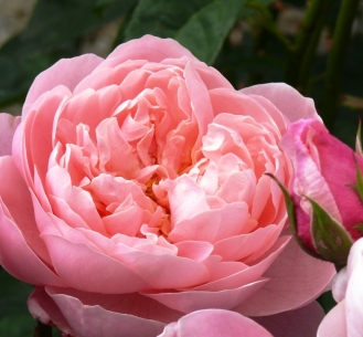 pink at Bodnant 2