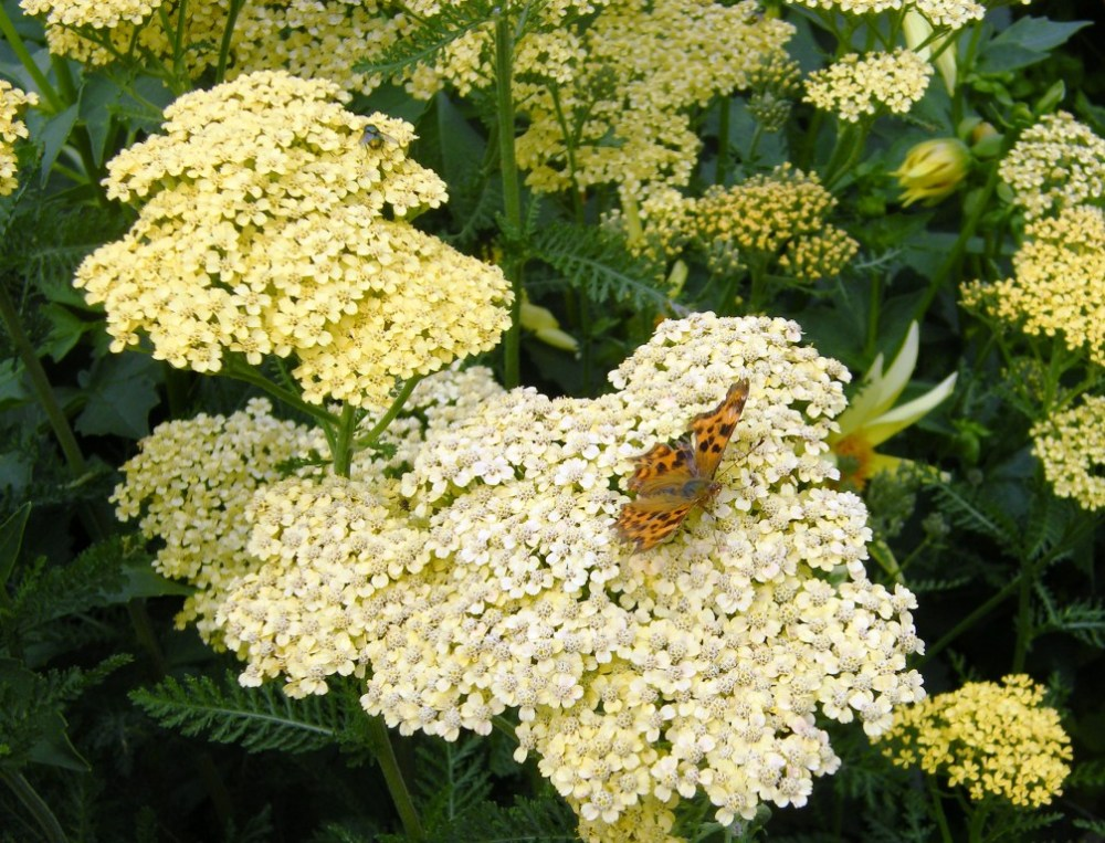 yarrow with comma butterfly