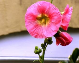 pink hollyhock 2