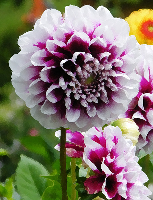 dahlias-purple-(D)