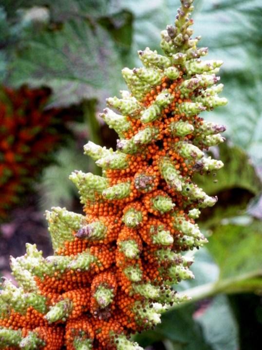 gunnera flower