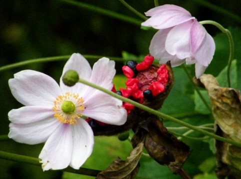 Japanese Anemone and Seeds