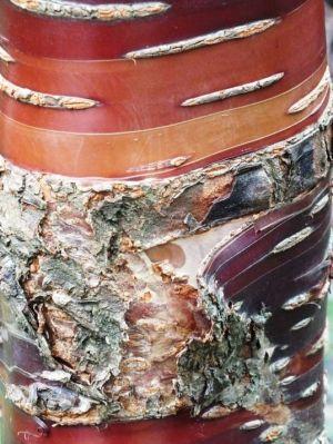 mahogany barked cherry
