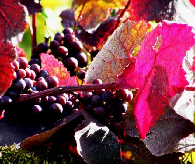 Purple Grapevine