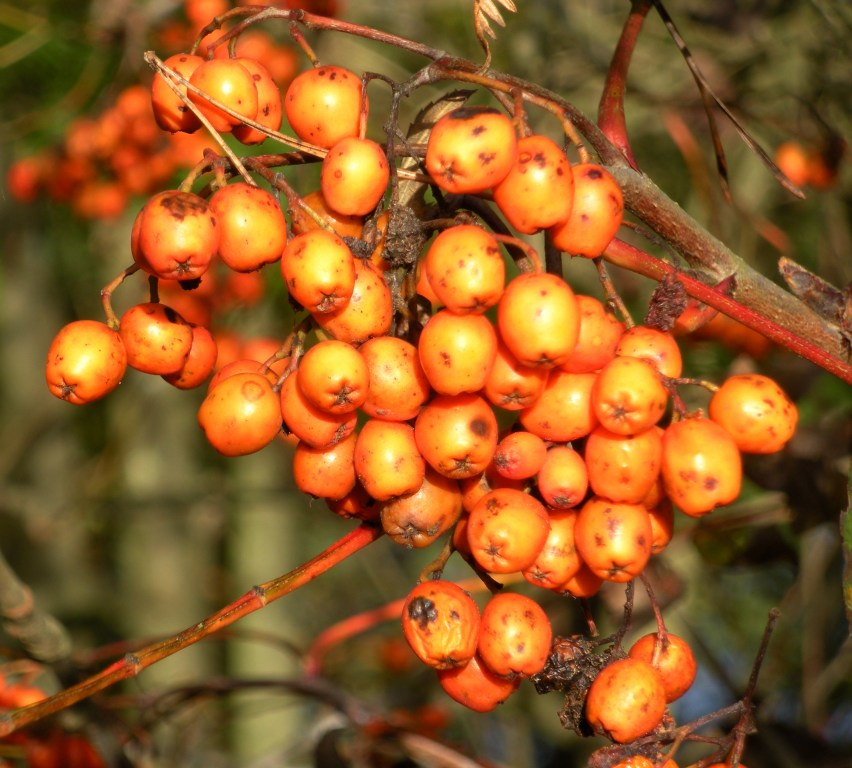 Pyracantha Orange Berries
