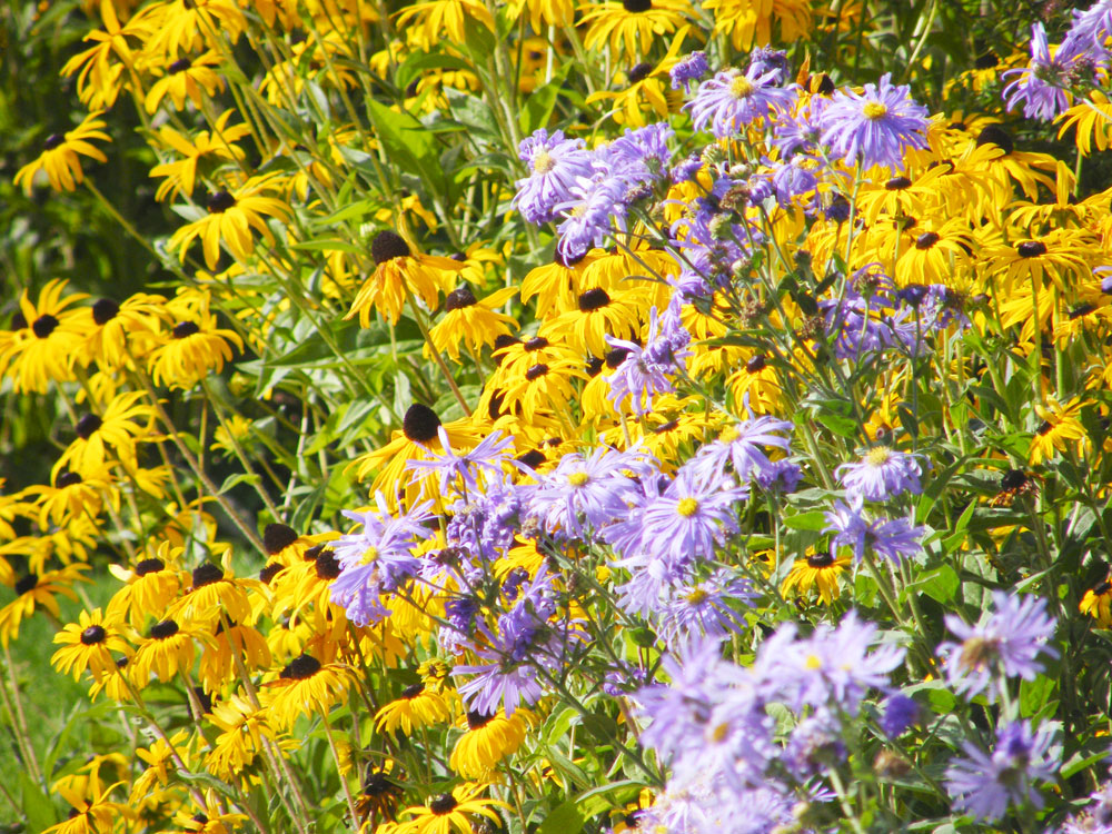 Michaelmas Daisies and Rudbeckia