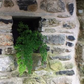 Maidenhair Fern