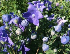 Platycodon - campanula-like balloon flower