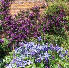 Clematis in the purple borders