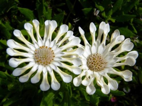 Whirligig Osteospermum
