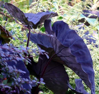 Colocasia esculenta 'Black Leaf' Taro