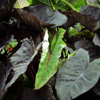 Colocasia-esculenta-'Black-Magic'