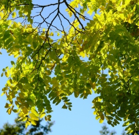 golden false acacia