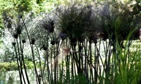 Water Reeds