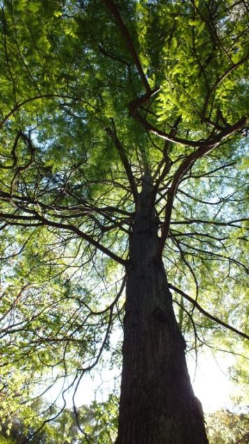 Bald Cypress / Swamp Cypress