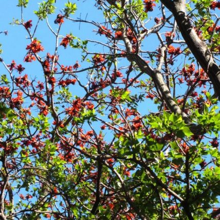 Flame Tree (Erythrina abyssinica)