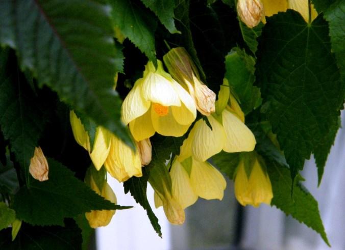 abutilon 'Canary Bird'