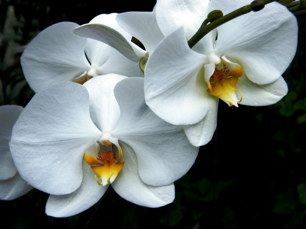 orchid (10)