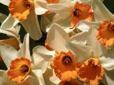 daffodils 4