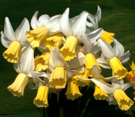 daffodils 8