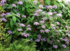 Hydrangea 'petiolaris'