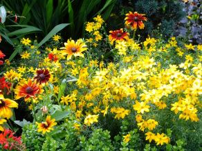Helenium and Chrysanthemum carinatum